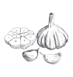 Hand drawn raw garlic sketch vector