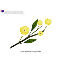 Golden wattle the national flower of australia vector