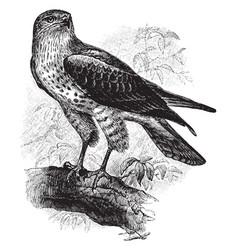 Snake buzzard also called a short toed eagle vector