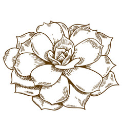 Engraving of succulent vector