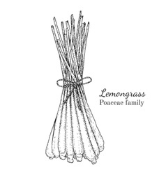 Ink lemongrass hand drawn sketch vector image vector image