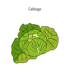 cabbage - garden plant vector image vector image