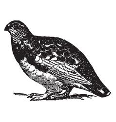 Rock ptarmigan summer plumage vintage vector