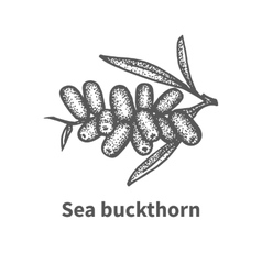 Sketch sea buckthorn with leaves and branches vector