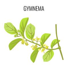 Gymnema ayurvedic medicinal herb isolated on white vector