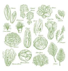 Salad leaf and vegetable greens sketch set design vector