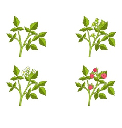 Raspberry growth phases vector