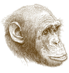 Engraving of chimp muzzle vector
