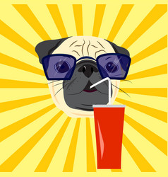 Head of pug drinking soda on yellow starburst vector