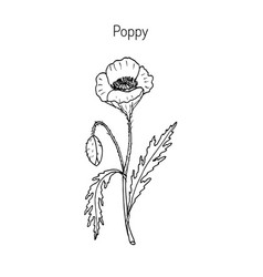 opium poppy or papaver somniferum vector image vector image