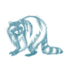 Raccoon sketch hand drawing of wildlife vintage vector