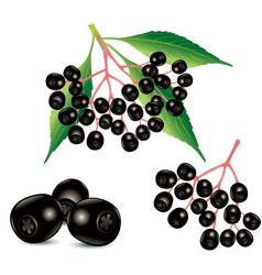 Ripe black elderberry fruit food ingredient vector