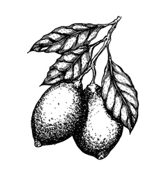 Hand drawn lemon or lime fruit leafs on vector