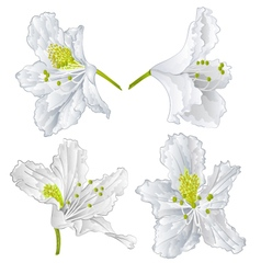 Blossoms white rhododendron mountain shrub vector