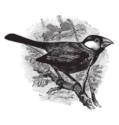 Java sparrow on a branch vintage vector