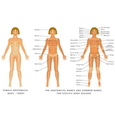 Female body front vector