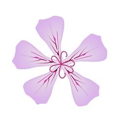 Rose geranium flowers or pelargonium graveolens vector