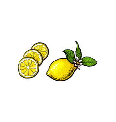 Sketch lemon with leaves flower and slices vector