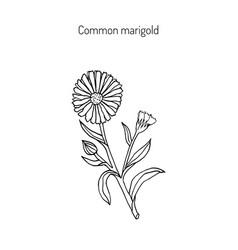 medicinal plant calendula officinalis vector image vector image
