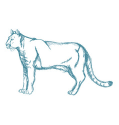 Hand drawn cougar or mountain lion animal blue vector
