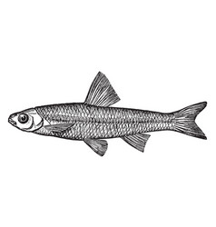 Spottail minnow or shiner vintage vector