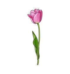 Hand drawn of side view pink tulip flower vector
