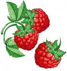raspberry vector image vector image