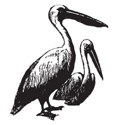 Pelican vintage vector