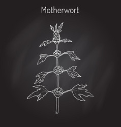 Motherwort or leonurus cardiaca vector