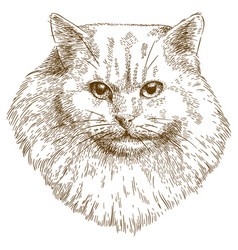 engraving of cat muzzle vector image vector image