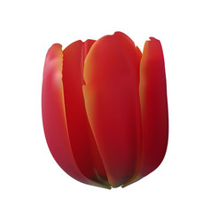 tulip red realistic flower vector image
