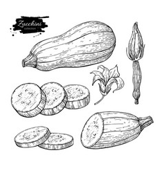zucchini hand drawn set vector image vector image