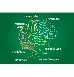 Green chalkboard brain anatomy vector
