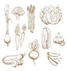 Vintage sketches of farm vegetables vector