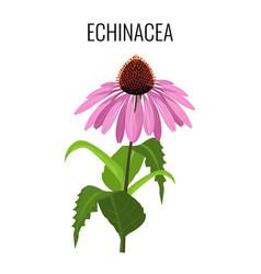 echinacea ayurvedic herbaceous flowering plant vector image vector image