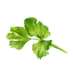 Leaf of coriander vector