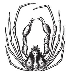 Scorpion spider crab vintage vector