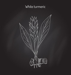 Curcuma zedoaria zedoary white turmeric vector