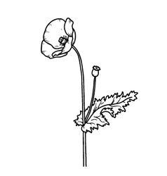 Sketch floral poppy card isolated on white vector