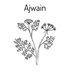 Ajwain trachyspermum ammi or ajowan caraway vector