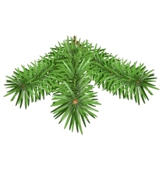 Green Fir branch Pine branches isolated on white vector image vector image