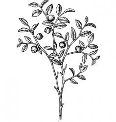 vaccinium myrtillus vector image