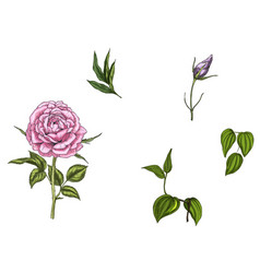 Set with rose flower leaves bud and stems vector