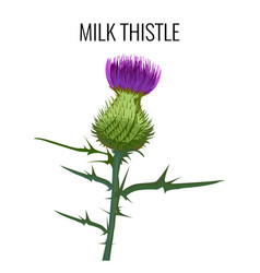 Milk thistle isolated on white background blessed vector