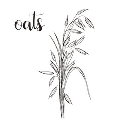 Oats sketch hand drawing vector
