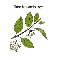 Gum benjamin tree styrax benzoin medicinal plant vector