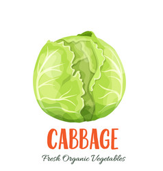 cabbage vegetable vector image