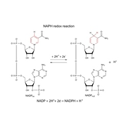 NADP redox reaction vector image vector image