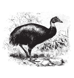 One wattled cassowary vintage vector