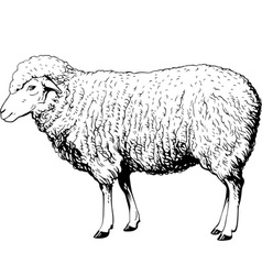 Domestic sheep vector
